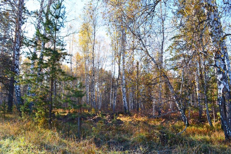 Украшение поселка - сосново-березовые перелески. Предполагается, что во второй очереди будет больше участков, граничащих с лесом.
