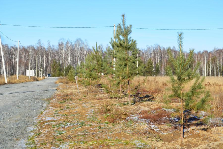 В поселке постоянно ведется благоустройство. Совсем недавно была высажена аллея молодых зеленых сосен вдоль центральной улицы.